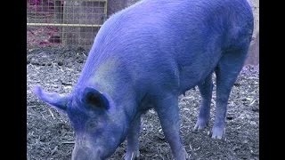 Chinese Astrology: Water Pig