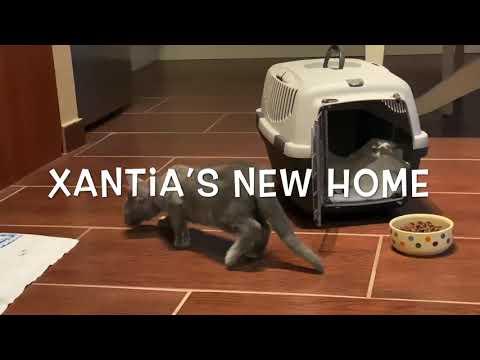 Baby Chartreux cat's new home