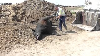 Feedlot - Dead Cow Being Picked Up for Render Plant