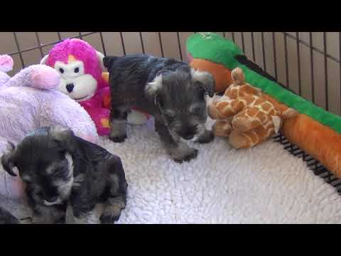 Putting On A Spread - Miniature Schnauzer Puppies - 4 & 5 weeks old