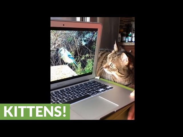 Bird-watching cat thoroughly confused by laptop screen