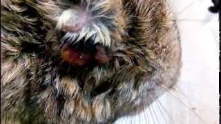 Mixomatosis conejo de campo: respiración
