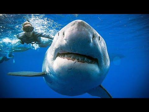 Divers pictured swimming with 2.5 tonne great white shark off the coast of Hawaii