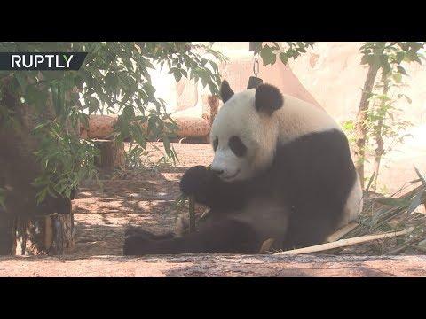Панды онлайн: Московский зоопарк начал трансляцию из вольера бамбуковых медведей