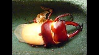 コクワ幼虫・成虫飼育記録。蛹化と羽化。 がんばって連続写真にしてみま...