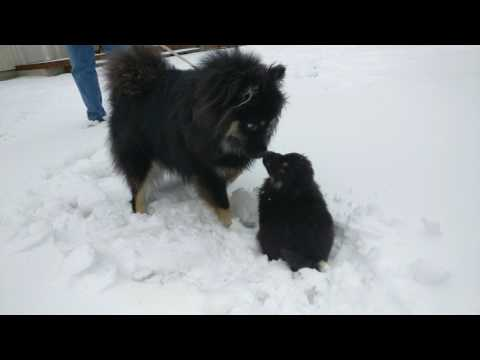 Cute Finnish Lapphund puppy plays in the snow and makes a new friend!