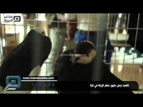 مصر العربية | شاهد اجمل طيور حمام الزينة في غزة
