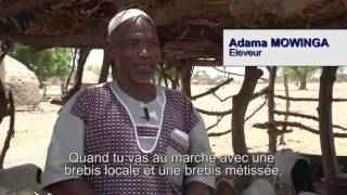 Croisement de races de moutons au Burkina Faso
