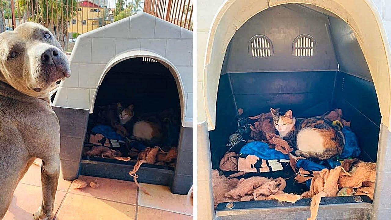Pitbull bietet schwangerer Katze Unterkunft zum Gebären an...