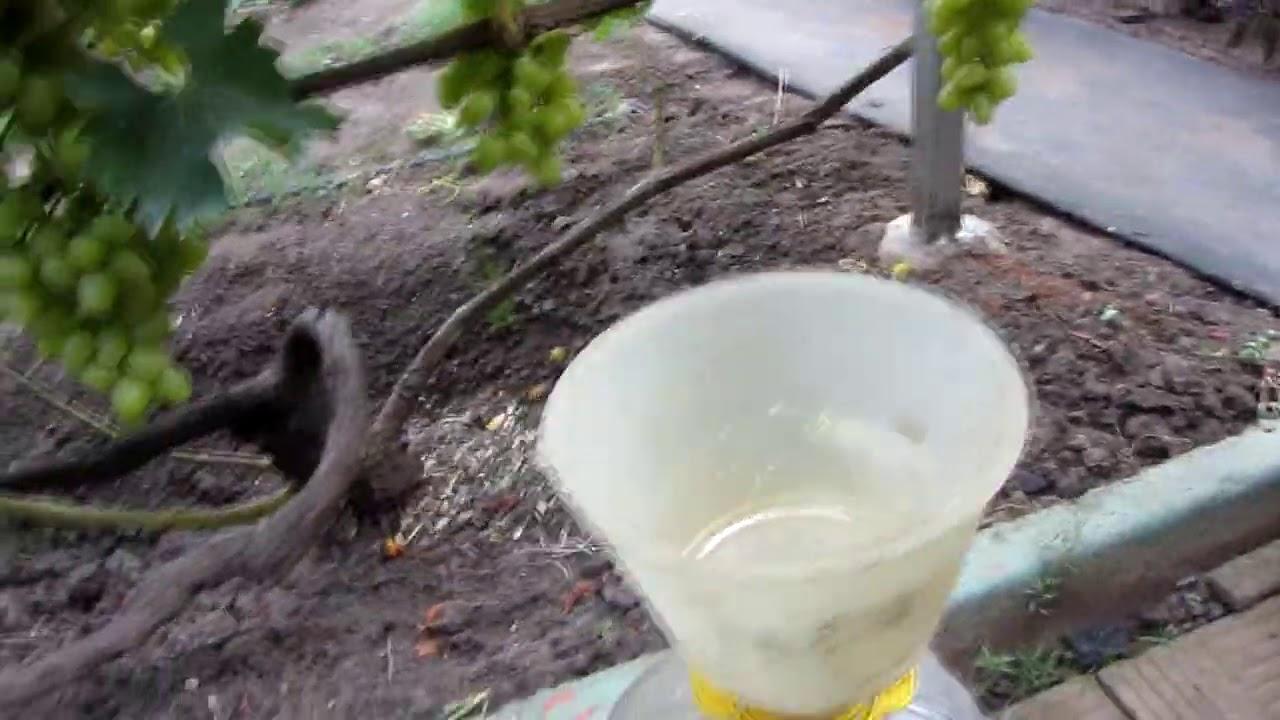 Что делать, чтобы вызрела лоза винограда