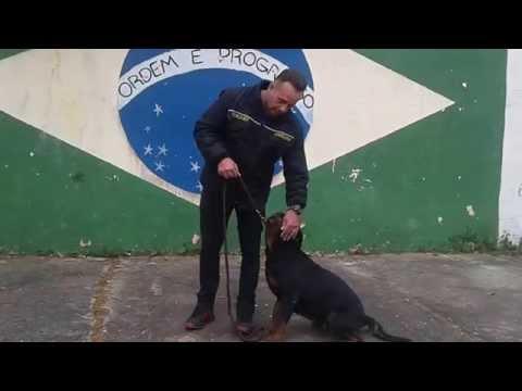 Passo á Passo , como adestrar, seu Cão. VÍDEO-1