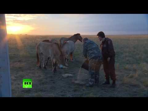 Вопрос: Остались ли лошади Прожевальского в заповеднике ..(см)?
