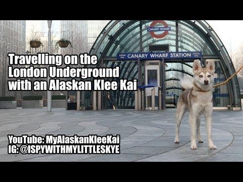 Alaskan Klee Kai on the London Underground