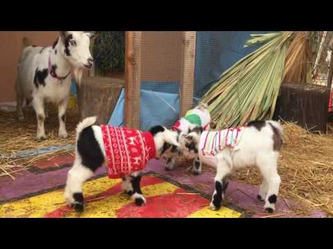 The Gregory School - The Baby Goats