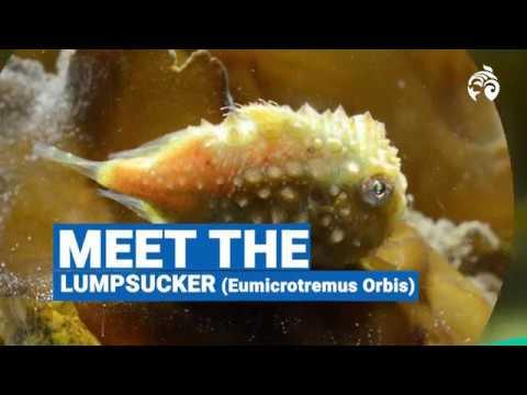 Meet The Lumpsucker | Ocean Wise