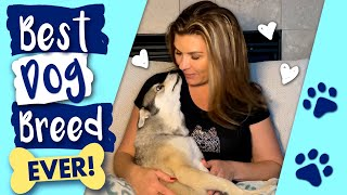 10 Reason Why YOU Need An Alaskan Klee Kai Dog