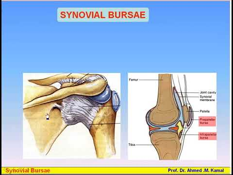 09 Serous Membranes 2 Synovial Sheaths & Bursa Anatomy Intro Dr Ahmed Kamal   YouTube