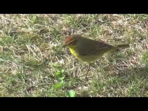 Palm Warbler - an annual resident