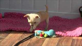 Chihuahua Puppies 3rd September 2016