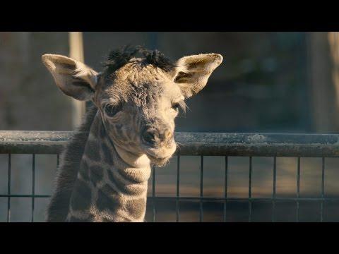 San Diego Zoo Welcomes Giraffe Calf to Herd thumbnail