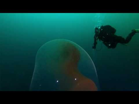 The Love Doctors - Divers Find Squid Egg Sac Filled With Baby Squidlets!
