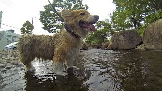 Roku Loves Water / ロクさんは水が大好き 20150813 Welsh Corgi Puppy 子犬 Slow Motion Run Cute