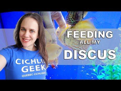 HAND FEEDING MY DISCUS FISH