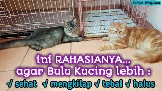 Cara Mudah Agar Bulu Kucing Lebih : √Sehat √Mengkilap  √Tebal √Halus