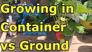 How to Grow Strawberries in Containers VS Ground