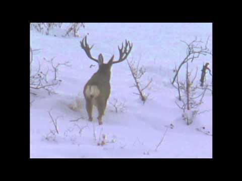Utah Mule Deer 2001 Governor's Tag - MossBack