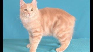 Кошки Мэнкс - Manx cat