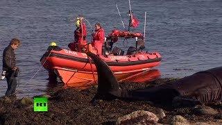 Видео спасения афалин, выброшенных на берег в Исландии