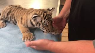 Rare, Siberian tiger cub named after NJ native