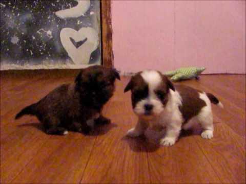 Shorkie Puppies, Shih Tzu Mix Puppies Yorkie Mix Puppies Meet Macy & Maggie - Cutest Puppies