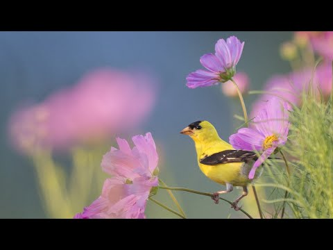 Beautiful Instrumental Music, Peaceful Relaxing  Music ' Morning Song Birds 8 Hours' by Tim Janis