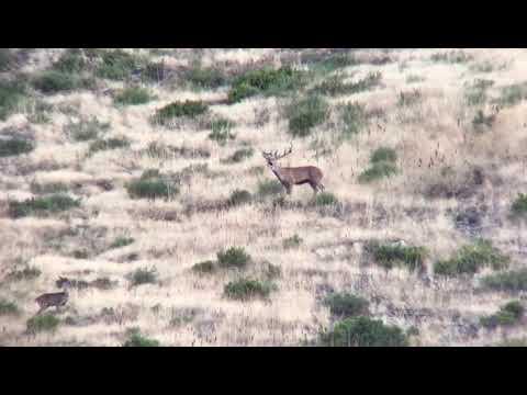 Berrea del ciervo en los montes leoneses