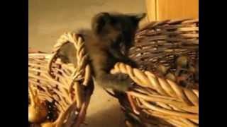 Черный котенок дракон