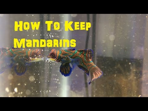 Everything You Need To Know About  Mandarin Gobies