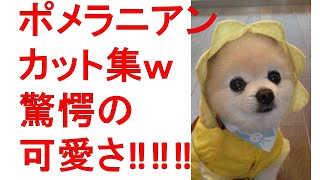 Cute Pomeranian Cut Collection W Startle ! ! ! ポメラニアンカット集w驚愕の可愛さ‼‼‼