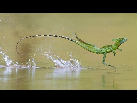 5 Animals That Can Walk On Water