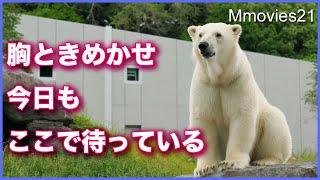 飼育員さんを待ってる姿が健気なホッキョクグマ リラ Polar Bear is waiting for the keeper