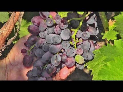 Синий виноград -