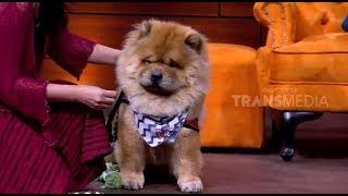 Anjing Chow Chow Mirip Singa   HITAM PUTIH  (15/10/18) Part 2