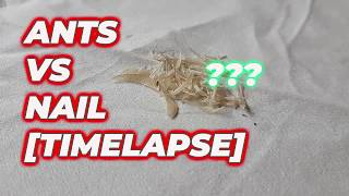 Ants vs Nail timelapse [believe your eyes]