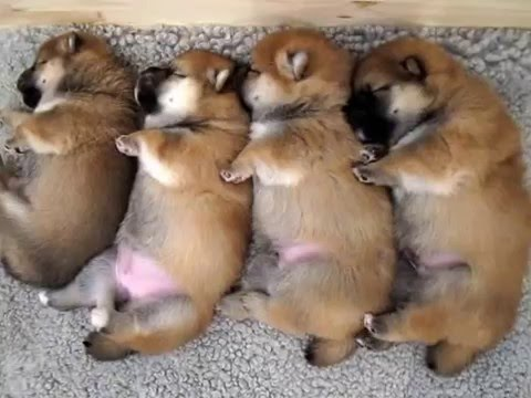 Cute Baby Puppy Pictures Wallpaper Cute Small Sleeping Shiba Inu Puppies Youtube