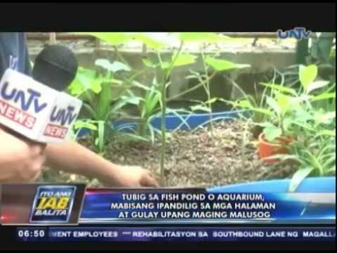 Tubig sa fish pond o aquarium, mabisang ipandilig sa mga halaman at gulay