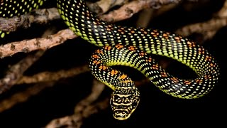 CHRISOPELEA sp  - Les Serpents volants (Reportage National Geo)