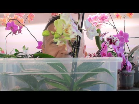 орхидеи без полива остались // 2 я обработка орхидей фитоверм от клещей