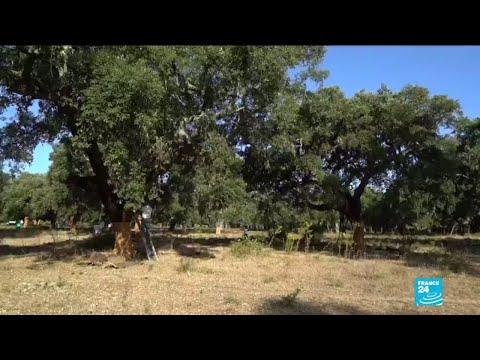 Cork oak trees: mother nature's helping hand in combatting forest fires
