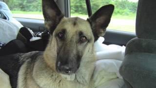 Layla's Life - The Best German Shepherd Ever